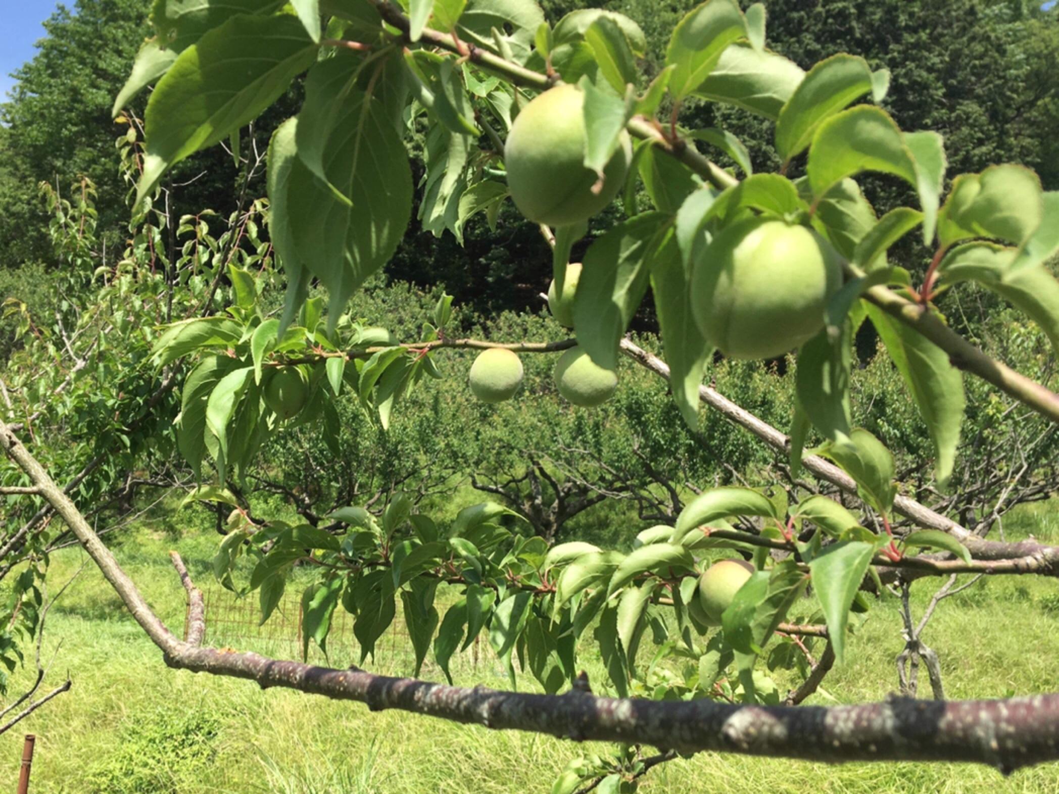 """""""無農薬・無肥料""""の梅で「ゆるゆる梅しごと・ほんのり養生の会」を開催します。"""